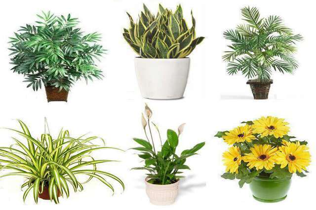 Air Purifier Plants in delhi, Air Purifier Plants nursery in south delhi, Air Purifier Plants nursery in saket