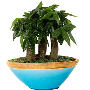bonsai plants nursery in delhi, bonsai plants suppliers in delhi, bonsai nursery in south delhi
