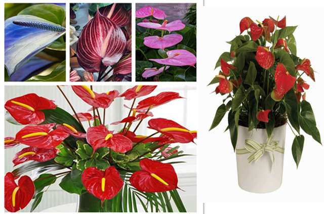flower plants nursery in delhi, flower plants suppliers in delhi, Anthurium plant suppliers in delhi
